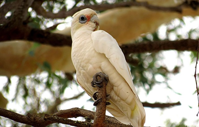 little-corella edit.jpg